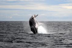 Whale watching in the Gold Coast in June