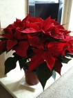 Our beautiful Poinsettia